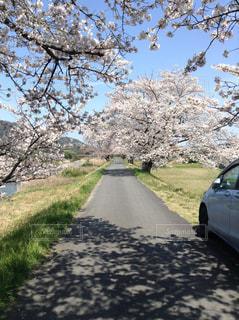 春,満開,道,トンネル,土手,さくら