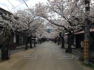 春,桜並木,歩道,通り,行ってみたい,キレイ,趣きある