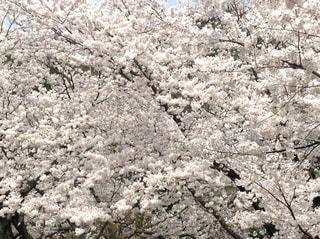 桜満開!!!の写真・画像素材[3044605]