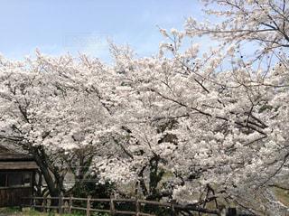 空,春,満開,さくら