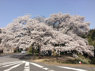 春,満開,樹木,大きい,迫力,さくら,樹齢