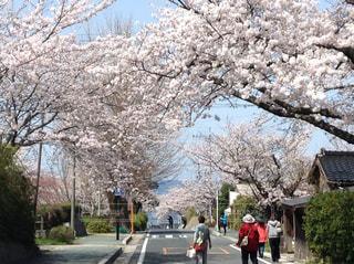海へと続く桜道の写真・画像素材[3044606]