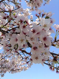 空,花,春,花びら,満開,さくら