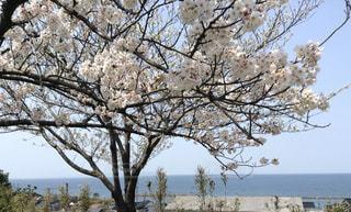 桜と海と青い空の写真・画像素材[3057778]