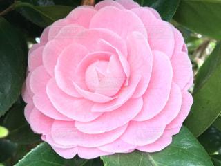ピンクの花の写真・画像素材[3057916]
