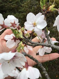 桜の花と手のひらの写真・画像素材[3061321]