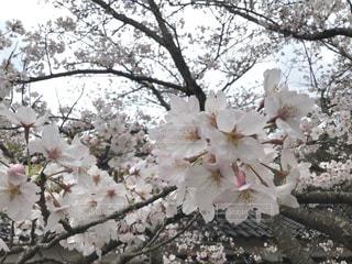 桜の花びらの写真・画像素材[3061323]