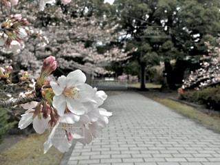 桜のクローズアップの写真・画像素材[3061324]