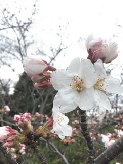 桜の花びらのアップの写真・画像素材[3061322]
