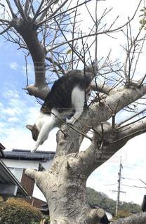 木から降りる瞬間の猫の写真・画像素材[3064335]