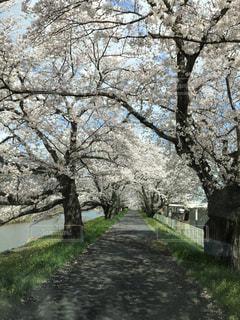 空,花,春,景色,樹木,道,トンネル,桜の花,さくら