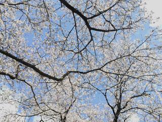 空,花,春,屋外,青い空,満開,見上げる,樹木,桜の花,さくら