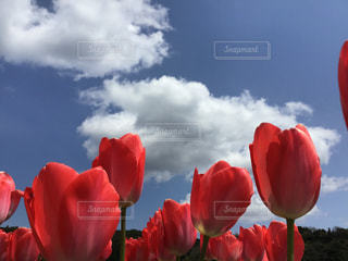 チューリップと青空の写真・画像素材[3093959]