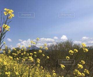 黄色の花と青空と大山の写真・画像素材[3093977]