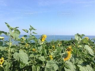 ひまわりと海の写真・画像素材[3499747]