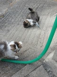 猫,動物,遊ぶ,子猫