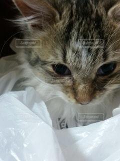 猫,動物,かわいい,子猫,ネコ科の動物