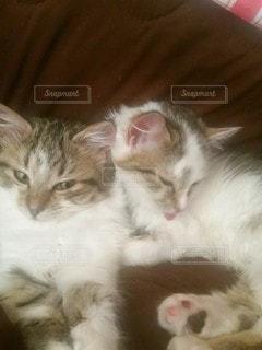 猫,動物,屋内,白,かわいい,茶色,子猫,ネコ科の動物