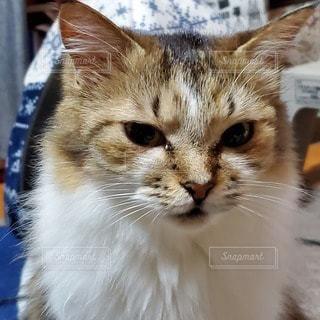 猫,動物,見つめる,ネコ科の動物