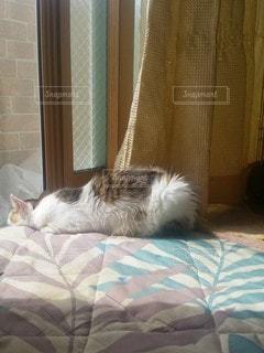 猫,動物,屋内,白,カーテン,景色,ペット,寝る
