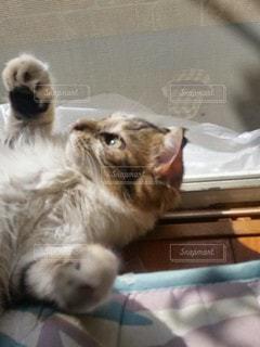 猫,動物,屋内,かわいい,子猫,ネコ科の動物