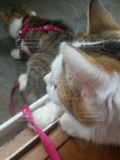 猫,動物,屋内,かわいい,ペット