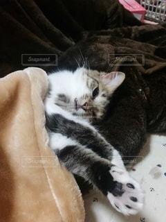 猫,動物,屋内,かわいい,寝る,子猫,キティ,ネコ科の動物
