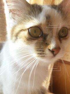 猫,動物,かわいい,子猫,目,キティ,ネコ科の動物