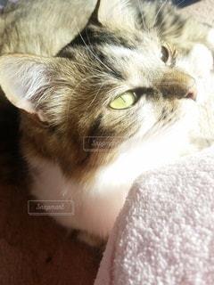 猫,動物,屋内,かわいい,子猫,見つめる,キティ