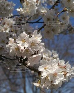 花,春,ピンク,白,景色,鮮やか,さくら,ブロッサム
