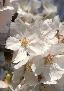 春,桜,ピンク,白,花びら,アップ,ブロッサム