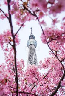 空,花,春,東京,ピンク,東京スカイツリー,樹木,草木,桜の花,さくら,ブルーム,ブロッサム