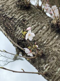 花,春,桜,枝,季節,ソメイヨシノ