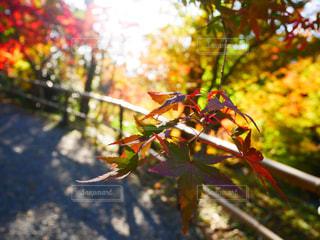 花,秋,紅葉,屋外,葉,もみじ,樹木,カラー,景観,カエデ