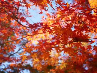 空,秋,紅葉,屋外,葉,もみじ,オレンジ,樹木,草木,カエデ