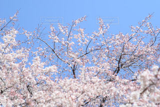 空,花,春,屋外,樹木,草木,桜の花,さくら,ブロッサム