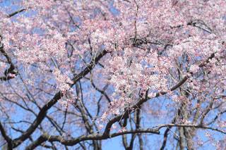 花,春,屋外,枝,樹木,草木,桜の花,さくら,ブルーム,ブロッサム,支店