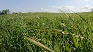 自然,風景,空,屋外,緑,景色,草,新緑,農業,作物,草木,甘い草,chrysopogon zizanioides
