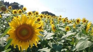 花,夏,太陽,緑,ひまわり,黄色,向日葵,笑顔,summer,猛暑,草木,yellow