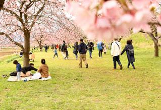 女性,男性,家族,3人,5人以上,風景,公園,花,春,桜,屋外,景色,草,樹木,人,たくさん,3月,日中,4月