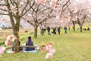 家族,公園,花,春,屋外,花見,草,樹木,人,草木,さくら,ブロッサム,桜見