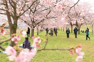 家族,2人,5人以上,風景,花,春,屋外,景色,草,樹木,ピクニック,人,たくさん,草木,桜の花,さくら,ブロッサム,桜の下