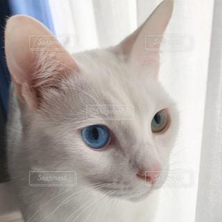 猫,白,窓辺,オッドアイ,明るい部屋
