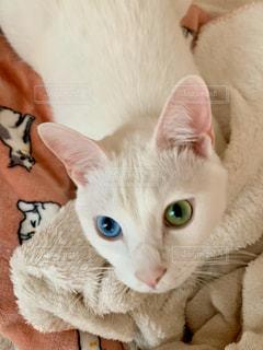 猫,白,オッドアイ