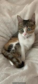 猫,動物,屋内,かわいい,美しい,ペット,子猫,毛布,三毛猫,ベッド,柔らかい,真剣な,凛とした