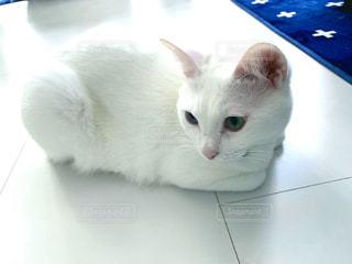 猫,動物,屋内,白,ペット,見つめる,オッドアイ,北欧風,香箱座り,白い部屋,丸くなる,アイストーン