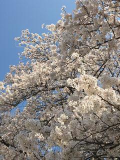 自然,春,屋外,満開,爽やか,樹木,迫力,桜の花,春爛漫,さくら,こぼれそう,空の青