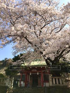 自然,空,花,春,屋外,ピンク,神社,満開,樹木,地元,桜の花,春爛漫,さくら,隠れた名所
