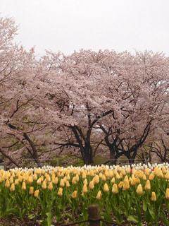 風景,花,春,桜,屋外,ピンク,黄色,チューリップ,満開,樹木,春爛漫
