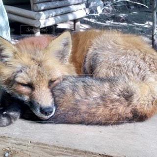 動物,寝る,狐,蔵王,きつね,フォックス,キツネ村